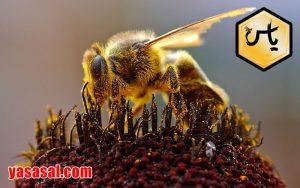 خواص عسل گشنیز